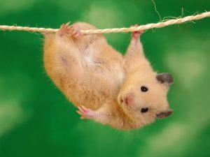 hamster_wallpaper_2